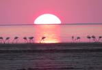 Розовый фламинго: дитя Коргалжыно